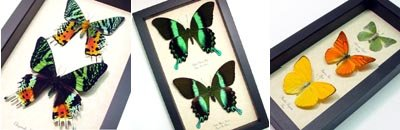 Real Framed Butterfly & Moth Sets